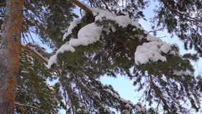 View of a young pine tree. Part of the trunk and branches are covered with snow. Outside, the weather is good, blue sky. Nice view of the snow-covered pine tree stock video