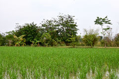 View of Young rice sprout Stock Image