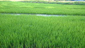 View of Young rice sprout ready to growing in the rice field Royalty Free Stock Images