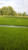 View of Young rice sprout ready to growing in the rice field Stock Photography