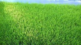View of Young rice sprout ready to growing in the rice field Stock Images
