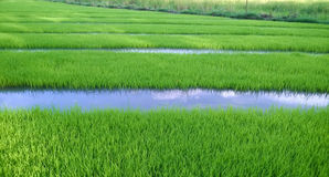 View of Young rice sprout ready to growing in the rice field Royalty Free Stock Photos