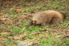 View of the young sloth on the ground Royalty Free Stock Photography
