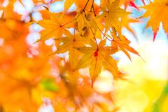 The viewing of colorful Autumn leaves Momiji Royalty Free Stock Photography