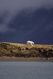 Viewing a Polar Bear. Polar Bear on the horizon, Svalbard, Arctic Circle royalty free stock photos