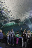 Viewing the Shark Tank at Toronto Aquarium. Visitors to the Toronto aquarium are awestruck by the shark tank as they move through the interactive tunnel Royalty Free Stock Photo