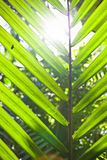 Viewing the sun through a palm frond. Viewing the bright glare of a tropical sun through an upright fresh green palm frond Royalty Free Stock Image