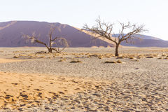 Viewof trees near the dune 45 in the Namib Desert, Sossusvlei, N. View  of trees near the dune 45 in the Namib Desert, Sossusvlei, in the Namib-Naukluft National Stock Image