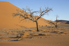 Viewof trees near the dune 45 in the Namib Desert, Sossusvlei, N. View  of trees near the dune 45 in the Namib Desert, Sossusvlei, in the Namib-Naukluft National Stock Photography