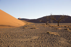 Viewof trees near the dune 45 in the Namib Desert, Sossusvlei, N. View  of trees near the dune 45 in the Namib Desert, Sossusvlei, in the Namib-Naukluft National Royalty Free Stock Photo