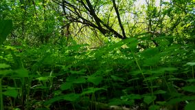 Viewpoint of green forest floor plants. Up-close lush greenery under tree canopy. Viewpoint of green forest floor plants. Up-close lush greenery under woodland stock video footage