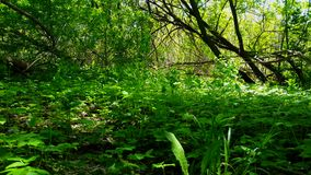 Viewpoint of Green Forest Floor Plants.  Up-Close Lush Greenery Under Canopy. Viewpoint of Green Forest Floor Plants.  Up-Close Lush Greenery Under Woodland stock footage