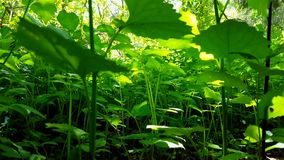 Viewpoint of green forest floor plants. Up-close lush greenery. Under woodland canopy stock footage