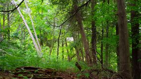 Viewpoint of green forest interior in day. Lush trees, plants, and leaves greenery under woodland canopy. With camera pan stock video footage