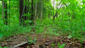 Viewpoint of Green Forest Interior in Day.  Lush Trees, Plants, and Leaves Greenery Under Woodland. Canopy stock footage