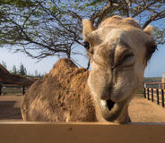 Views around Phillips Animal Sanctuary - camel Royalty Free Stock Images