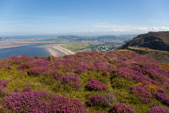 Views from Conwy Mountain with heather Royalty Free Stock Photography