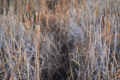 Views from the Cradleboard Trail walking path on the Carolyn Holmberg Preserve in Broomfield Colorado surrounded by Cattails, wild. Life, plains and Rocky stock photography