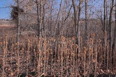 Views from the Cradleboard Trail walking path on the Carolyn Holmberg Preserve in Broomfield Colorado surrounded by Cattails, wild. Life, plains and Rocky royalty free stock photography
