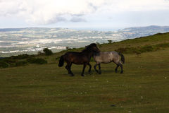 Views of Dartmoor ponies to the Coastline Royalty Free Stock Images