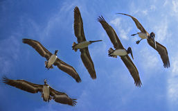 Views of flying pelicans in blue sky Stock Images