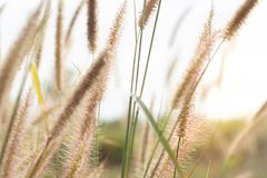 Views of the golden meadowSetaria verticillata on the mountain. In the morning with fresh air. stock photo