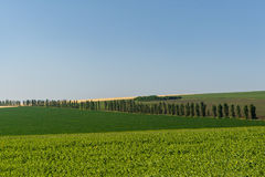 Views of grain fields and poplar. Stock Images