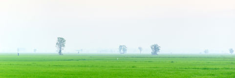 Views of green rice with sea fog in the morning Royalty Free Stock Images