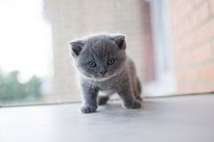 Views kitten. Kitten, pet house, beautiful cat, British blue cat, Cheshire cat, views kitten royalty free stock photos