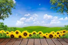 Views Of Sunflower Stock Photos