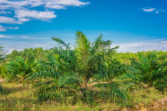Views of palm oil plantations Stock Photo