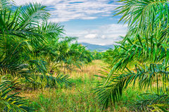Views of palm oil plantations Stock Images