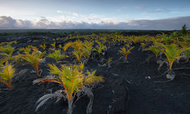 Views of plants in volcanic sand field for sunset Stock Photography