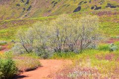 Views of Red Mountain Wilderness and Snow Canyon State Park from the  Millcreek Trail and Washington Hollow by St George, Utah in. Spring bloom in desert stock photo