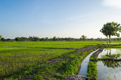 Views of the rice fields in Asia Stock Photo