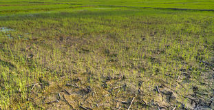 Views of the rice fields in Asia Royalty Free Stock Photography