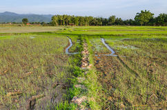 Views of the rice fields in Asia Royalty Free Stock Image