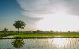 Views of the rice fields in Asia Stock Photos