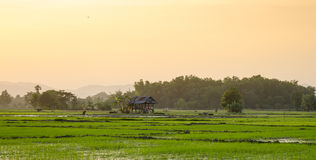 Views of the rice fields in Asia Royalty Free Stock Photo