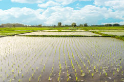 Views of the rice fields in Asia Stock Photography