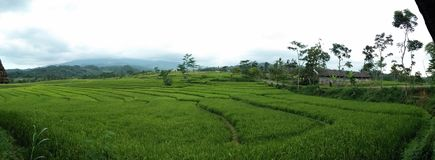 Paddies field ,rice fields,landscape ,green ,Indonesia Stock Photography