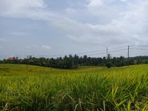 Views of rice fields in the tabanan areas royalty free stock photography