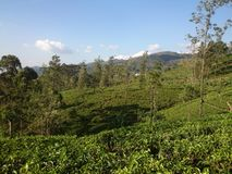 View of tea plantations in the mountains royalty free stock photo