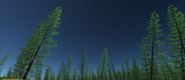 Views of the tops of green spruce trees with blue sky Royalty Free Stock Photo