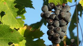 Views of a Tuscan Vineyard (8 of 11). Scenes from a Tuscan vineyard stock footage