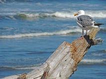 Vigia da madeira lançada à costa da gaivota Foto de Stock
