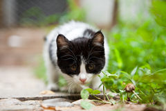 Vigilance cat. Background blur ,cute cat crouching on the grass Royalty Free Stock Image