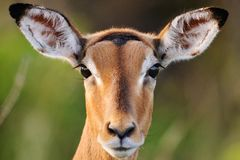 Vigilance. This Impala ewe was very alert and never took her eyes off us Royalty Free Stock Images