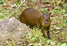 A vigilant Agouti. The Common Agouti (Dasyprocta) is a shy inhabitant of the amazonian rainforest, always alert to any danger Royalty Free Stock Photo