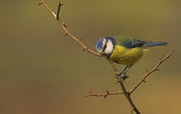 Vigilant Blue Tit. A Blue Tit looking for food on a cold winters day in the UK Stock Photos